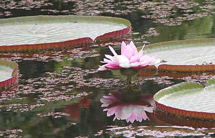 http://www.paxgaea.com/images/Giant_Amazon_water_lily.jpg Giant Amazon Water Lily